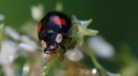 21 Tweestippelig lieveheersbeestje (Adalia bipunctata)