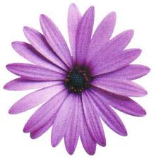 10_-Purple-Daisy