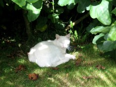 Cat under a fig tree
