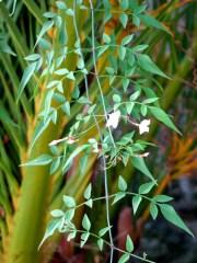 Jasmine climbing through the Date palms