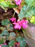 Pink trailing ivy leafed Geranium