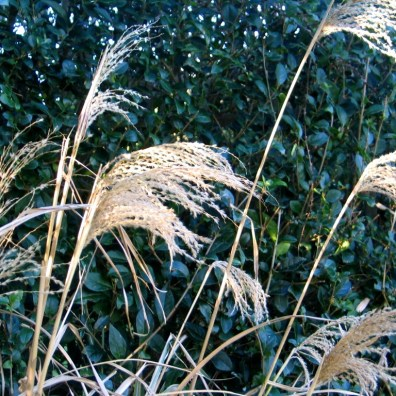 Fading Miscanthus
