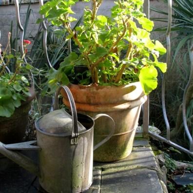 Wintering Geraniums