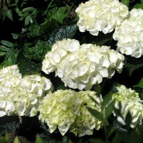 Elegant White Hydrangeas