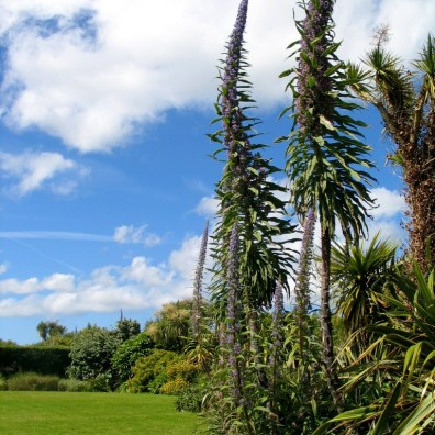 Talll echiums have overwintered