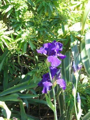 The Irises are still flowering in the lower garden
