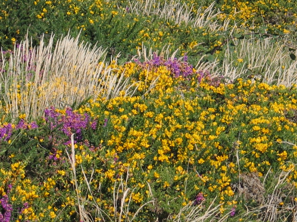 Heather and gorse - late summer foliage in cornwall