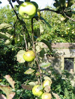 Our little orchard of West Country apples have all but stamped the old hen house now