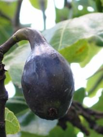 Ficus Brown Turkey