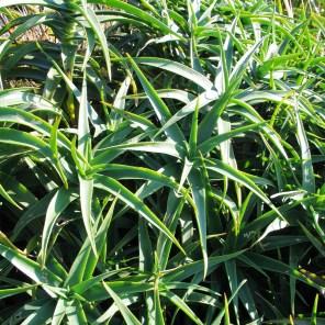 Aloe striatula - suculent