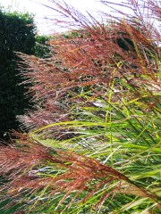 Russet seed heads of miscanthus grass