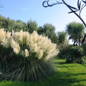 Autumn garden with pampass seed