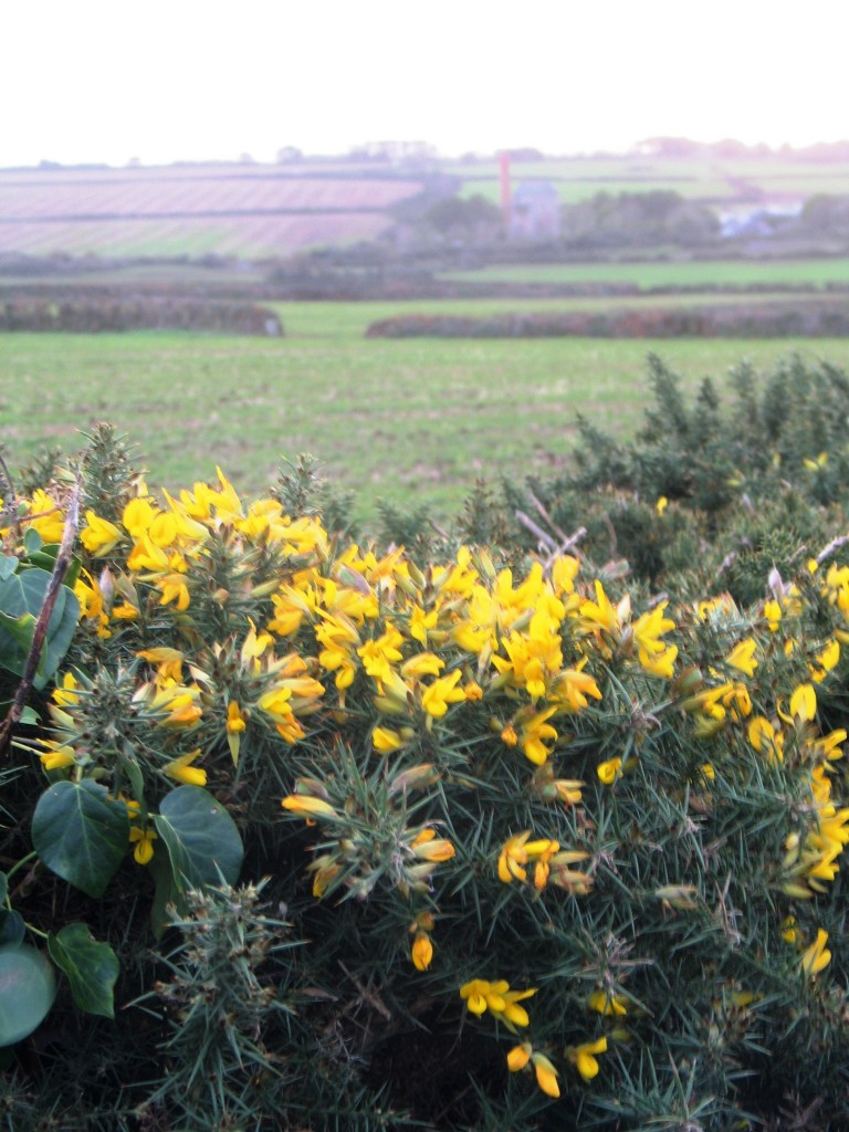 December and the gorse is in flower