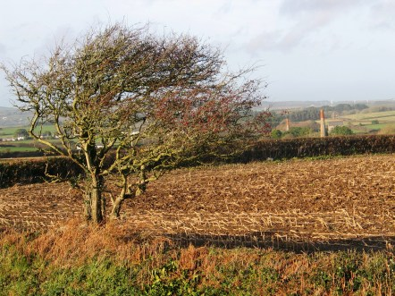 hawhorne tree in cornwall shaped by the wind