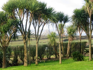 Cordylines in cornwall