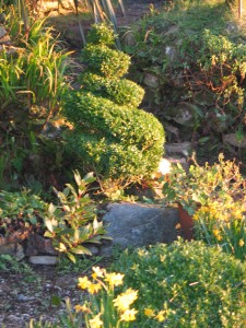 early spring garden border with spiral topiary at Ednovean Farm