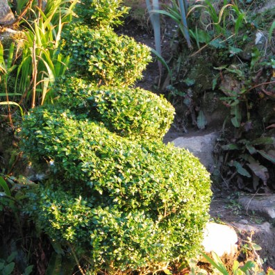 I've started to trim the topiary as I know i wont have as much time in the Summer