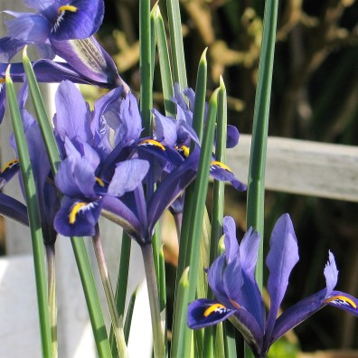 Spring Irises in a pot
