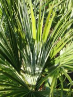 I Love the leaves of the European fan palms for the way they cath the light and their blue grey texture
