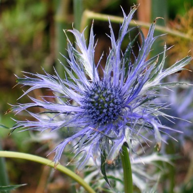 Beautiful blue eryngium