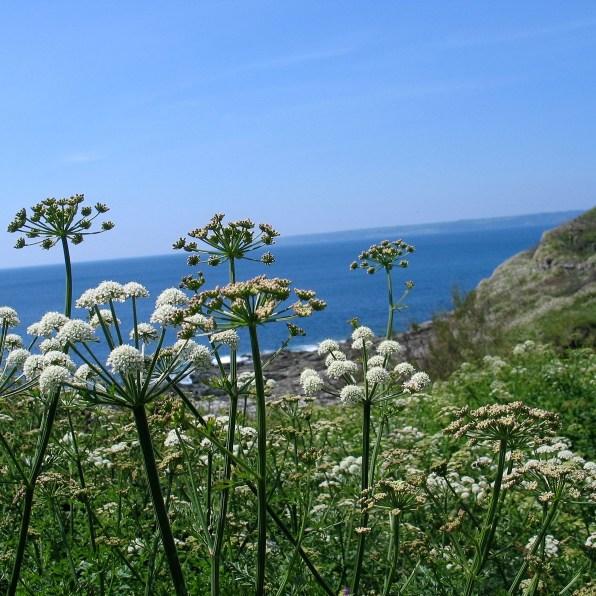 Walking the coastal footath east of ednovean Farm where wild flowers frame the sea