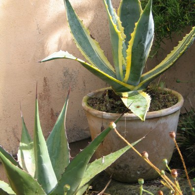 Agaves love the heat of the courtyards