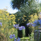 Agapanthus and femmet at Ednovean Farm