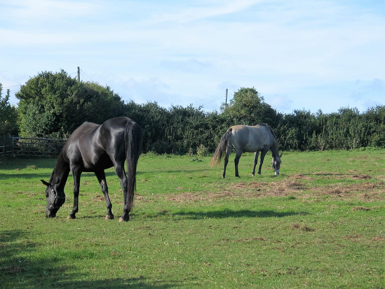 Horse graze peacefull beside the footpath across Ednovean Fam