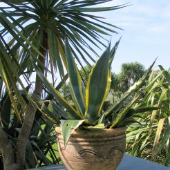 A vaigated Agave framed by Coryline Australis