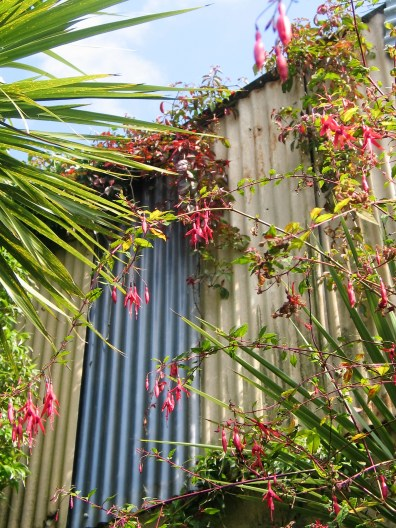 Swags of virginai creeper turning to autumn reds soften a tin barn