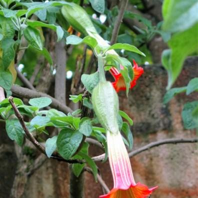 orange bell shaped flowers of brugmansia sanguinea
