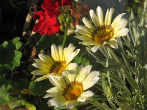 Daisies in the golden glow of evening sun as summer turns to autumn in the garden