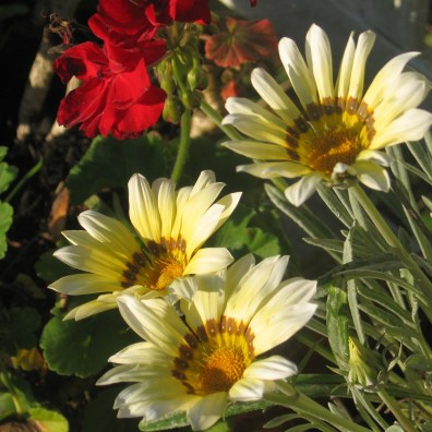 Daisies in the golden glow of evening sun