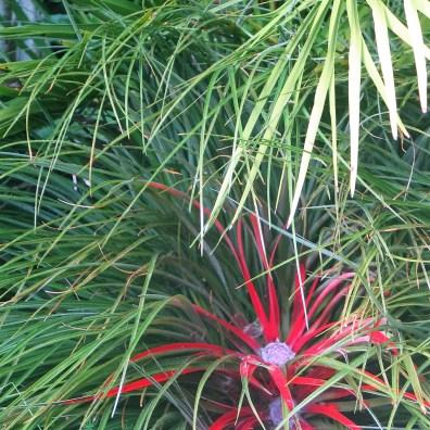 fascicalaria bicolour rcentre turnin to red in the autumn