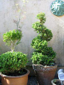 box topiary in terracotta pots