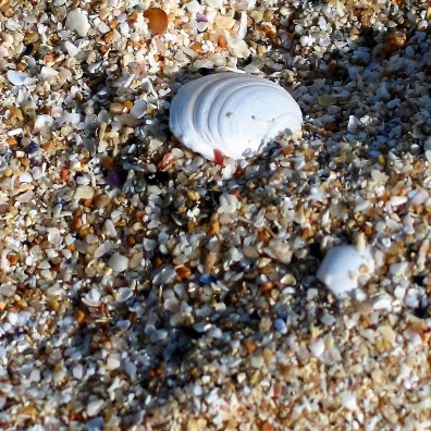 cockle shells in the sands