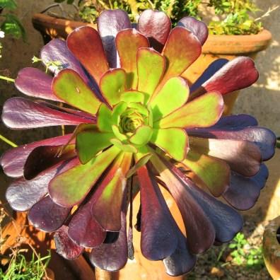 A floret of an Aonium
