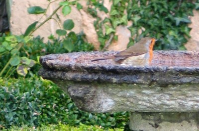 A robin in a bird bath in a winter garden