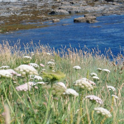 wild flowers on the cornish cliffs