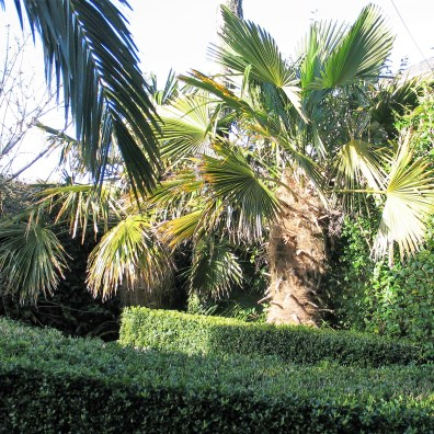 Trachycarpus fortunie or chinese palm