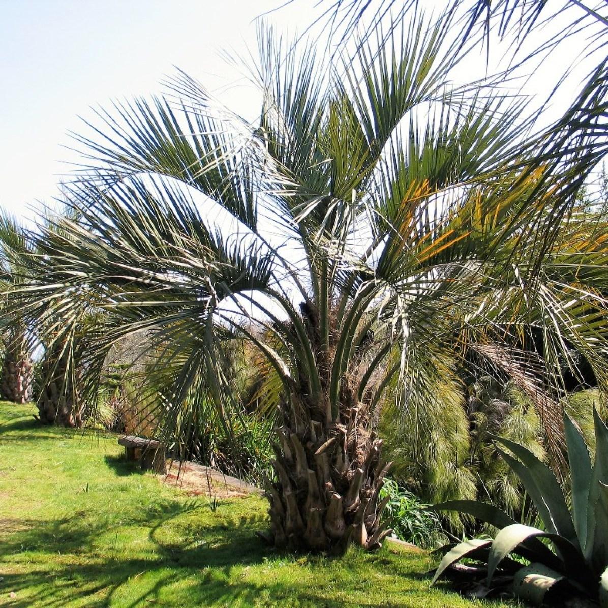 avenue of butea capitata palms