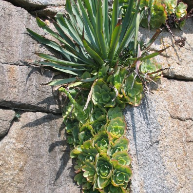succulents growing in rock fissures