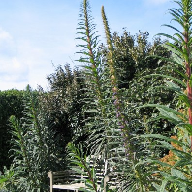 Spring brings Echiums into flower in Cornwall
