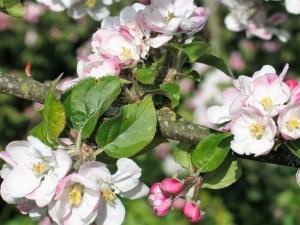 apple-blossom in the april garden