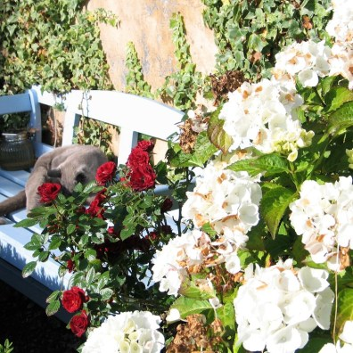 Hydrangeas and roses frame a blue bench