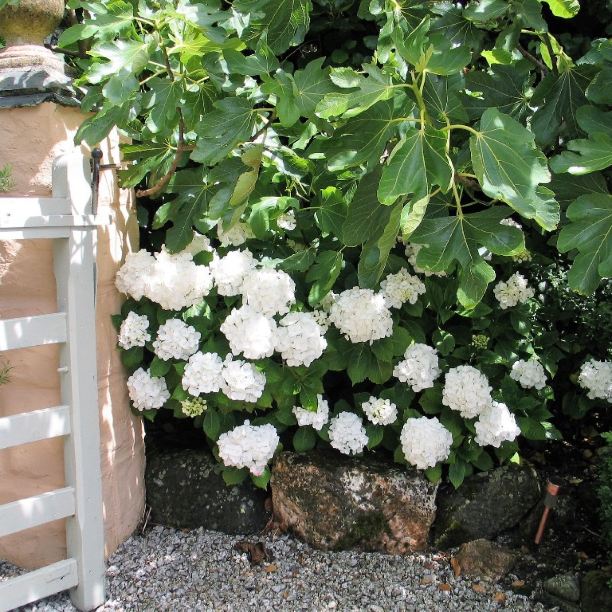 Lush white hydrangeas underplanting fig trees
