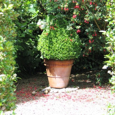 A hardy fuchsia draped over a formal pot