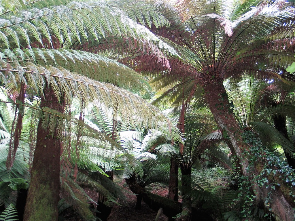 Tree fern canopy