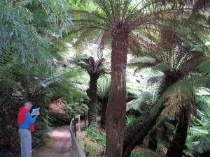 Tree ferns Trewidden garden