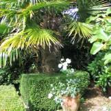 box hedge surrounding a palm